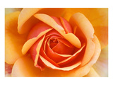Orange Rose Detail Posters