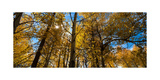 Aspen Autumn Photographic Print by Steve Gadomski