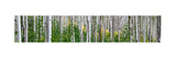 Aspen Trees Photographic Print by Steve Gadomski