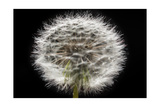 Gone To Seed Photographic Print by Steve Gadomski