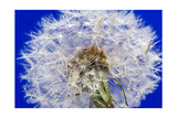 Dandelion Seeds On Blue Photographic Print by Steve Gadomski