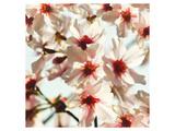 Alba Prunus Print