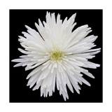 This White Chrysanthemum Photographic Print by Steve Gadomski