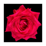 This Red Rose Photographic Print by Steve Gadomski