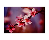 Peach Blossoms in Californias Central Valley Photographic Print by Ronald A Dahlquist