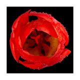 This Red Tulip Photographic Print by Steve Gadomski