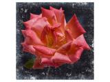 Rose Lantern Posters