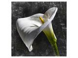 White Callas Posters