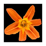 This Orange Lily Photographic Print by Steve Gadomski