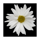 This White Daisy Photographic Print by Steve Gadomski