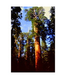 Giant Sequoias in Grant Grove Photographic Print by Ronald A Dahlquist