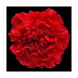 This Red Carnation Photographic Print by Steve Gadomski