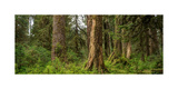 Hoh Rainforest Olympic N P Photographic Print by Steve Gadomski