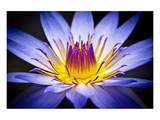 Colourful Waterlily Posters