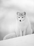 Arctic Fox Male Portrait, Norway Fotografisk tryk af Pete Cairns