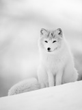 Arctic Fox Male Portrait, Norway Premium Photographic Print by Pete Cairns
