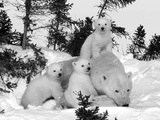 Polar Bear (Ursus Maritimus) Mother with Triplets, Wapusk National Park, Churchill, Manitoba Reproduction photographique par Thorsten Milse