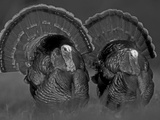 Wild Turkey Males Displaying, Texas, USA Photographic Print by Rolf Nussbaumer
