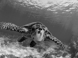 Sea Turtle, Swimming Underwater, Nosy Be, North Madagascar Fotografie-Druck von Inaki Relanzon