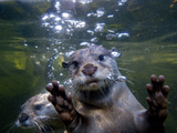 An Asian or Oriental Small-Clawed Otter, Aonyx Cinerea, Swimming Kunst på  metal af Paul Sutherland