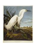 Snowy Heron or White Egret / Snowy Egret Metal Print by John James Audubon