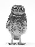 Mark Taylor - Portrait of a Young Little Owl (Athene Noctua) Fotografická reprodukce
