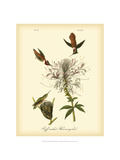 Ruff-neck Hummingbird Metal Print by John James Audubon