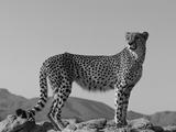 Portrait of Standing Cheetah, Tsaobis Leopard Park, Namibia Fotografisk trykk av Tony Heald