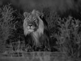 Lion Male, Kalahari Gemsbok, South Africa Photographic Print by Tony Heald