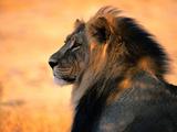 Vuxet afrikanskt lejon Konst på metall av Nicole Duplaix