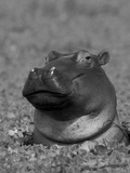 Hippopotamus Surrounded by Water Lettuce, Kruger National Park, South Africa Premium Photographic Print by Tony Heald