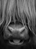 Niall Benvie - Highland Cattle, Head Close-Up, Scotland Fotografická reprodukce
