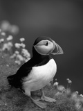 Puffin Portrait, Great Saltee Is, Ireland Reproduction photographique par Pete Oxford
