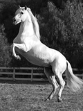 Grey Andalusian Stallion Rearing on Hind Legs, Ojai, California, USA Photographic Print by Carol Walker