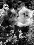 7-Weeks, Gold-Shaded and Silver-Shaded Persian Kittens in Watering Can Surrounded by Flowers Photographic Print by Jane Burton