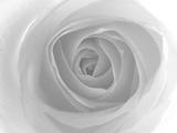 Rose Papier Photo par Nadia Isakova
