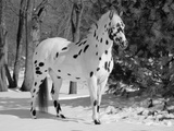 Appaloosa Horse in Snow, Illinois, USA Photographic Print by Lynn M. Stone