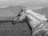 Palomino Quarter Horse Stallion, Head Profile, Longmont, Colorado, USA Photographic Print by Carol Walker