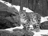 Ung sneleopard Fotografisk tryk af Lynn M. Stone