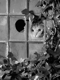Tabby Tortoiseshell in an Ivy-Grown Window of a Deserted Victorian House Premium Photographic Print by Jane Burton