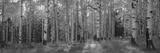 Aspen Trees in Coconino National Forest, Arizona, USA Photographic Print by  Panoramic Images