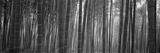 Bamboo Forest, Sagano, Kyoto, Japan Photographic Print by  Panoramic Images
