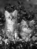 Domestic Cat, 8-Week, Two Fluffy Silver Tabby Kittens Amongst Winter-Flowering Pansies Photographic Print by Jane Burton