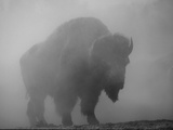 Bison, Bull Silhouetted in Dawn Mist, Yellowstone National Park, USA Photographic Print by Pete Cairns