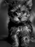 Yorkshire Terrier Puppy Portrait Photographic Print by Adriano Bacchella