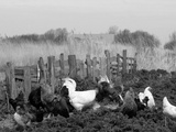 Chickens, Domestic Fowl, Rooster and Hens, Netherlands Fotografisk tryk af  Damschen