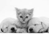 Lilac Tortoiseshell Kitten Between Two Sleeping Golden Retriever Puppies 写真プリント : ジェーン・バートン