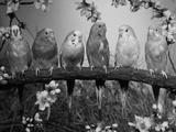Six Budgerigars (Melopsittacus Undulatus) Reproduction photographique par  Reinhard