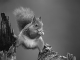 Red Squirrel Balancing on Pine Stump, Norway Fotografisk tryk af Niall Benvie