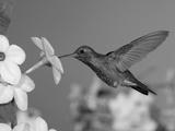 Broad Billed Hummingbird, Male Feeding on Nicotiana Flower, Arizona, USA Papier Photo par Rolf Nussbaumer
